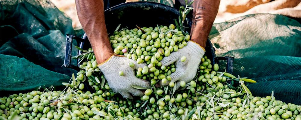 Moissonneur ramasse olives